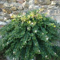 A caper bush growing out from a stone wall.