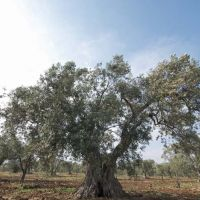 There are 7,500 olive trees on the estate.