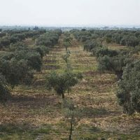 Rows of olive trees.