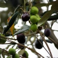 Olives used in Titone oil.